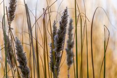 Wild flower grass with blurry background. On a sunny evening Royalty Free Stock Images