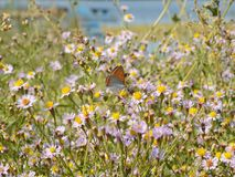 Wild flower grassland and a butterfly. A meadow near the river full of violet wild asters, Aster amellus, and a butterfly of Lycaenidae family pollinating them Stock Image