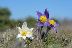 Wild flower. Greater pasque flower. Royalty Free Stock Image