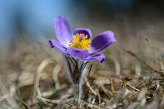 Wild flower. Greater pasque flower Stock Photo