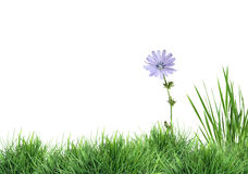 Wild Flower On Green Grass Royalty Free Stock Image
