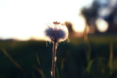 Wild flower on a green meadow in spring evening sunset hour Royalty Free Stock Photography