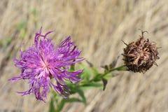 Wild Flower Royalty Free Stock Photo