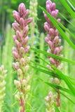 Liatris flower Royalty Free Stock Photo