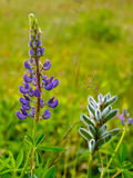 Wild flower in Krkonose Royalty Free Stock Photography