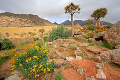 Wild flower landscape. Landscape with wild flowers and quiver trees (Aloe dichotoma), Namaqualand, South Africa royalty free stock photos