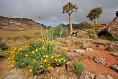 Wild flower landscape. Landscape with wild flowers and quiver trees (Aloe dichotoma), Namaqualand, South Africa stock photo
