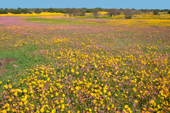 Wild flower landscape. Landscape with brightly colored wild flowers, Namaqualand, South Africa stock images