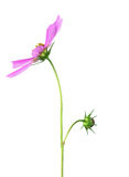 Wild flower light purple with green stem on a white background Royalty Free Stock Image