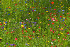 Wild flower meadow stock image