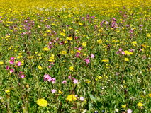 Wild flower on meadow Stock Photography