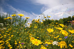 Wild Flower Meadow. Yellow wild flower meadow with a blue sky background Stock Images