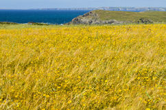Wild flower meadow cliffs and ocean background stock image