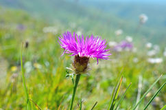 Wild flower in the meadow. Close up Stock Image
