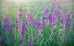 Wild flower (meadow flower) Royalty Free Stock Photo