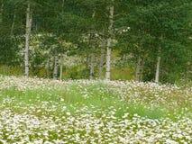 Wild flower meadow near Silverton, Colorado Royalty Free Stock Photography