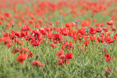 Wild flower meadow with poppies Stock Photos