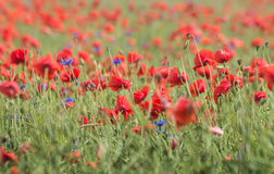 Wild flower meadow with poppies Royalty Free Stock Images