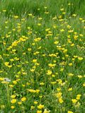 Wild flower meadow. Rich green grass with bright yellow butter cup flower Royalty Free Stock Photos