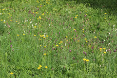 Wild flower meadow with Snake's head fritillary Stock Image