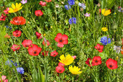 Wild flower meadow Royalty Free Stock Photos