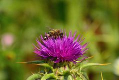 Bee on splendid wild flower of silybum marianum. Worker bee on wild flower of milk thistle silybum marianum collecting exquisite pollen Royalty Free Stock Photo