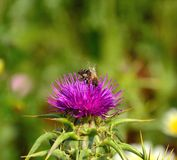Bee on wild flower of milk thistle silybum marianum. Worker bee on wild flower of milk thistle silybum marianum collecting exquisite pollen Royalty Free Stock Photos
