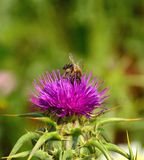 Bee on colorful Wild flower of silybum marianum. Worker bee on wild flower of milk thistle silybum marianum collecting exquisite pollen Stock Images