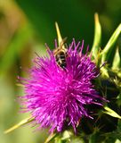 Wild flower of milk thistle silybum marianum and bees Stock Photos