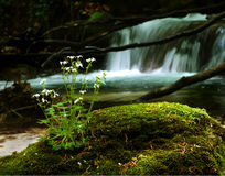 Wild flower on a mossy stone Royalty Free Stock Photography