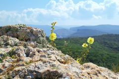 Wild flower in the mountains Stock Images