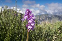 Orchis scopulorum beutiful mountains orchid flowers blooming on Madeira island, Portugal. Wild flower, orchis scopulorum beutiful mountains orchid flowers Royalty Free Stock Photo