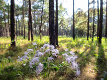 Wild flower in pine tree park, northern of Thailand. Wild flower in pine tree park on sunshine day, northern of Thailand Royalty Free Stock Image