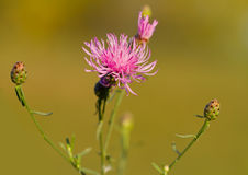 Wild flower pink Royalty Free Stock Photography