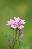 Wild flower with pink patterns on it's petals. Royalty Free Stock Photo