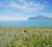 The wild flower poppy. Crimea, Russia Royalty Free Stock Images