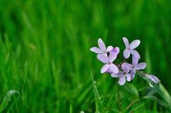 Wild flower in the rain Stock Image