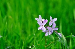 Wild flower in the rain Royalty Free Stock Photography