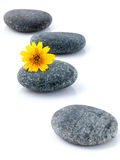 The wild flower on river stones spa treatment scene isolate on w Stock Photography