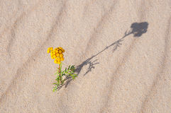 Wild flower in sand Royalty Free Stock Images