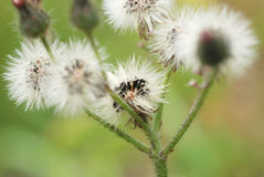 Wild flower seed heads ready to blow away on the wind. These wild flower seeds are matured and ready to be blown away by the wind to grow into new wild flowers stock photo