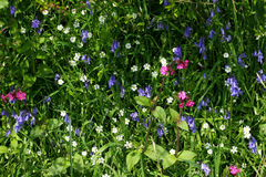 Wild Flower Selection. Bluebells and Red Campion wild flowers in a hedgerow in spring stock image