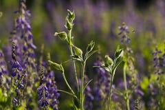 Wild flower Silene dioica (Melandrium dioicum) White Royalty Free Stock Photo