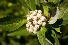 Wild Flower with small white fruits Stock Image