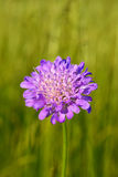 Wild flower on summer meadow Royalty Free Stock Photo
