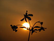 The wild flower and sunset Royalty Free Stock Photos