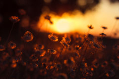 Wild flower in sunset. Light stock photos