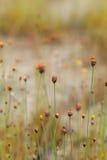 Wild flower Utricularia bifida. Field of Wild Flower background names Sroy Suwanna Utricularia bifida in soft and blur style royalty free stock image