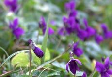 Wild flower. Violet wild flower Royalty Free Stock Photo