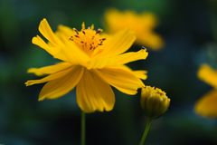 Wild yellow flower in Chatuchak park. Wild flower was bloom in the winter 2017 Stock Photography